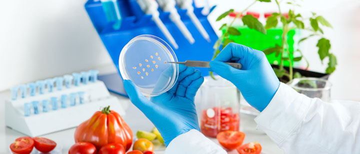 Laboratory investigation with cultivated tomato plants