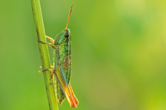 Small Gold Grasshopper - Chrysochraon dispar
