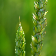 The decoding of the complex genome sequence lay the foundation for targeted breeding and consequently improved wheat quality. (Photo: Uli Benz / TUM)